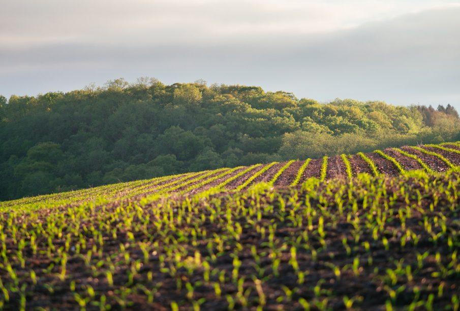 farming cannabis